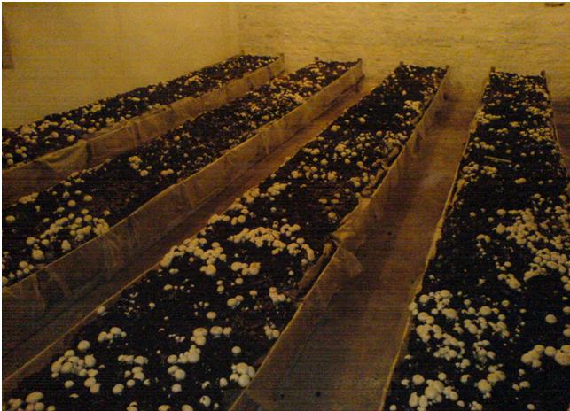 Примитивное выращивание шампиньона