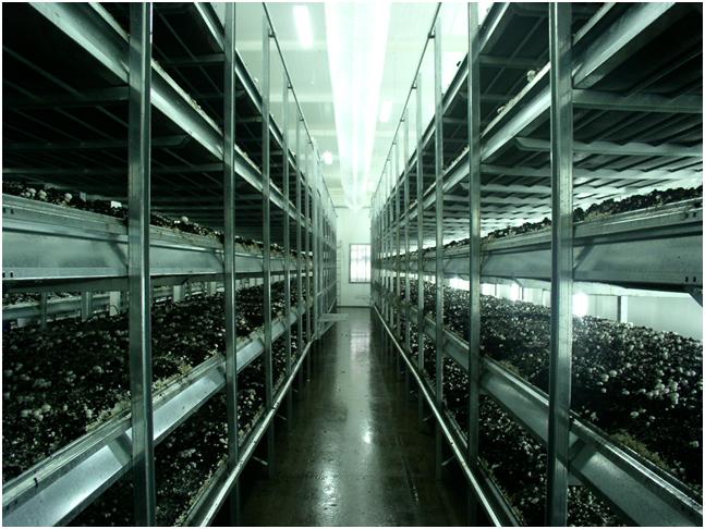 Интенсивное производство шампиньона